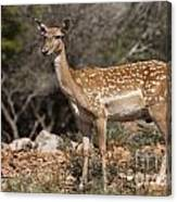 Mesopotamian Fallow Deer 2 Canvas Print