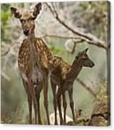 Mesopotamian Fallow Deer 4 Canvas Print
