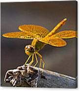 Mexican Amberwing Canvas Print