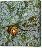 Mexican Bean Beetle Canvas Print