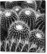 Mexican Golden Barrel Cacti Canvas Print