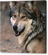 Mexican Gray Wolf Photo Art In Unique Copper Metal Frame \u2022 Rustic Style Art Handcrafted In Mexico