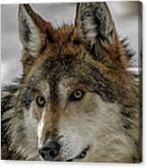 Mexican Grey Wolf Upclose Canvas Print