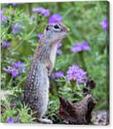 Mexican Ground Squirrel In Wildflowers Canvas Print