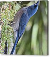 Mexican Jay Drinking - Phone Case Design Canvas Print
