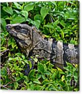 Mexican Spinytailed Iguana  Canvas Print