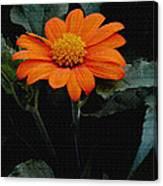 Mexican Sunflower Canvas Print