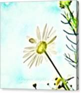 #mgmarts #daisy #flower #morning Canvas Print
