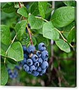 Michigan Blueberries Canvas Print