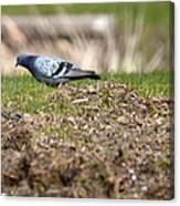 Michigan Rock Pigeon Canvas Print