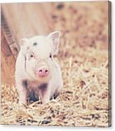 Micro Pig Canvas Print