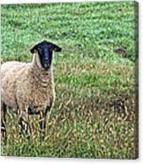 Middle Child - Blackfaced Sheep Canvas Print