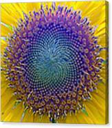 Middle Of Sunflower Close-up Canvas Print