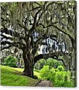Middleton Place Oak  Canvas Print