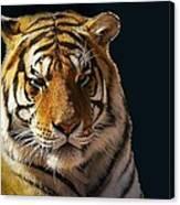 Midnight Catnap Canvas Print