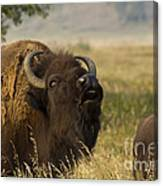 Mighty Bison Canvas Print