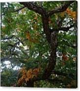 Mighty Fall Oak #2 Canvas Print