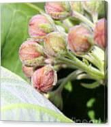 Milkweed Before Bloom Canvas Print