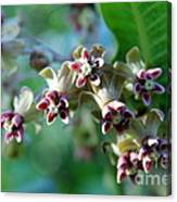 Milkweed Bloom Canvas Print