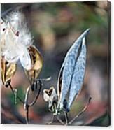 Milkweed Breaking Free Canvas Print