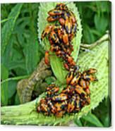 Milkweed Bug Nymphs - Oncopeltus Fasciatus Canvas Print
