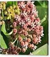 Milkweed Flowers In Bud Canvas Print