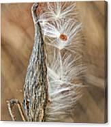 Milkweed Pod And Seeds Canvas Print