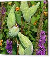 Milkweed Pods Canvas Print