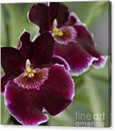 Miltoniopsis Rouge 'california Plum'  Macro  2692 Canvas Print