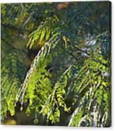 Mimosa At Sunset Canvas Print