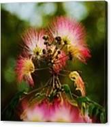 Mimosa Blooms Canvas Print