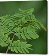 Mimosa Greens Canvas Print
