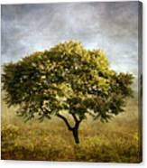 Mimosa Magic Canvas Print