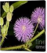 Mimosa Pudica  Canvas Print