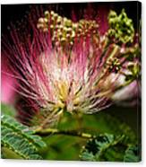 Mimosa- The Beautiful Bloom Canvas Print