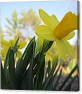 Mini Daffodils Canvas Print