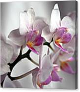 Mini Orchids 1 Canvas Print