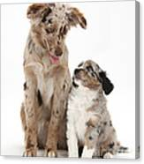 Miniature American Shepherd With Puppy Canvas Print
