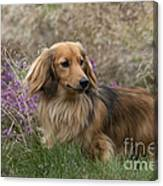 Miniature Long-haired Dachshund Canvas Print