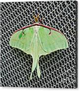 Mint Green Luna Moth Canvas Print