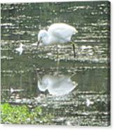 Mirror Image Of The Snowy Egret Canvas Print