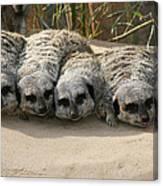 Mischievous Meerkats Canvas Print