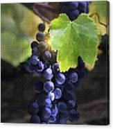 Mission Grapes II Canvas Print