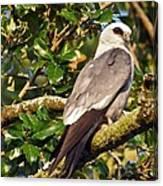 Mississippi Kite Canvas Print