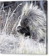 Mister Porcupine - Denali Alaska Canvas Print