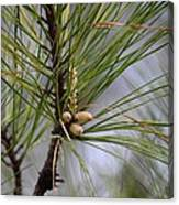Misty Pines In Spring 2013 Canvas Print