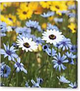 Mixed Daisies Canvas Print