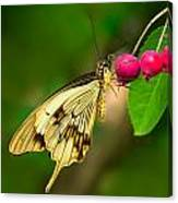 Mocker Swallowtail Butterfly And Berries Canvas Print