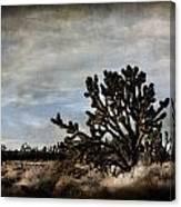 Mojave Desert Joshua Tree In Cima Canvas Print