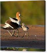 Mom And Baby Avocet Canvas Print